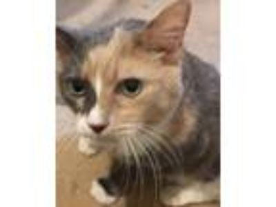 Adopt Thistle a Calico or Dilute Calico Calico (short coat) cat in McHenry