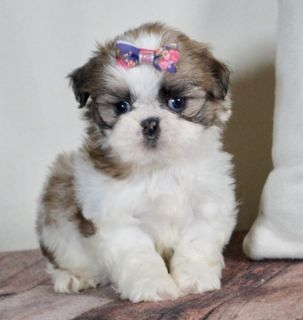 Shih Tzu PUPPY FOR SALE ADN-108316 - Adorable Shih Tzu Puppies Ready to go Super cute