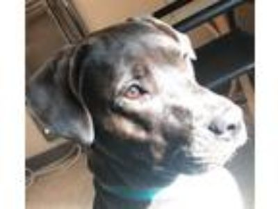 Adopt Kuro Maru a Great Dane, Pit Bull Terrier