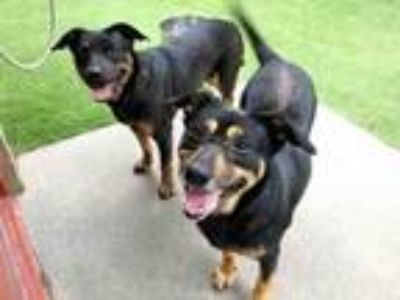 Adopt PEPPER a Black and Tan Coonhound, Rottweiler