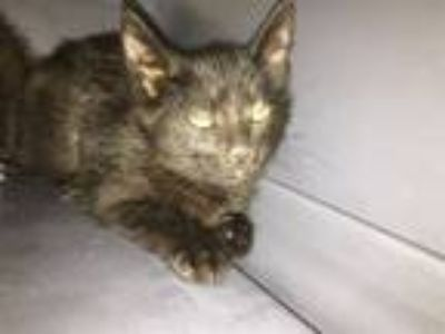 Adopt Mitts a Domestic Short Hair
