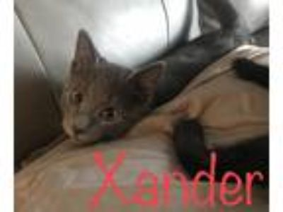 Adopt Xander a Gray or Blue American Shorthair cat in Carrollton, TX (25853959)
