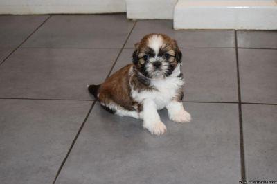 Puppy For Sale Classified Ads In Haysville Ks Clazorg