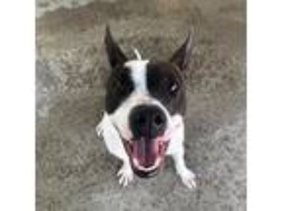 Adopt Bonnie a White - with Black Rat Terrier / Mixed dog in Madison Heights