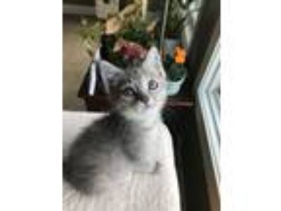 Adopt Amsterdam a Domestic Short Hair