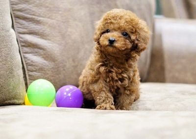 Flor the Toy Poodle