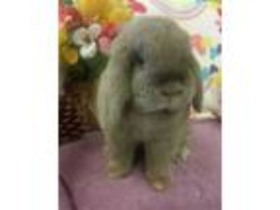 Adopt Ruby a Grey/Silver Lop, Holland / Lop, Holland / Mixed rabbit in Eugene