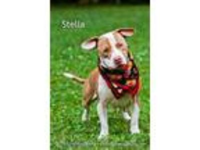 Adopt Stella a Brown/Chocolate American Pit Bull Terrier / Mixed dog in Cedar