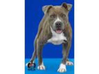 Adopt Bella a Pit Bull Terrier