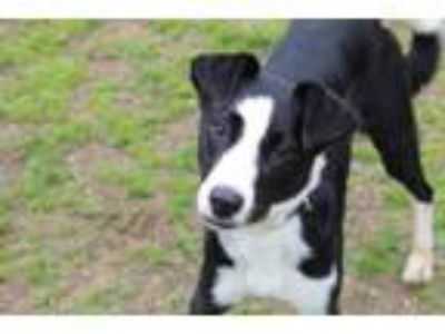 Adopt Rosie-mobile a Border Collie, Mixed Breed