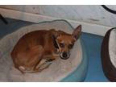 Adopt LUCAS a Basenji, Miniature Pinscher