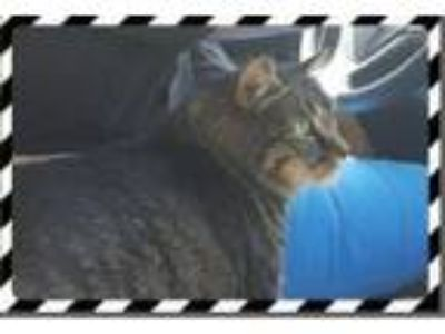 Adopt Bob a Maine Coon / Mixed cat in St. Cloud, FL (23220619)