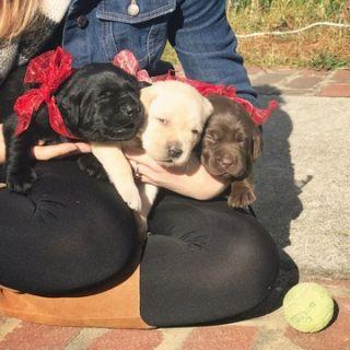 Labrador Retriever PUPPY FOR SALE ADN-56380 - Christmas Lab Pups