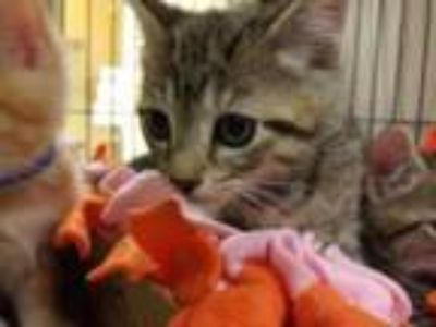 Adopt Snickers a Tan or Fawn Domestic Shorthair / Domestic Shorthair / Mixed cat