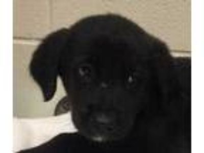 Adopt Pawl a Black Mixed Breed (Medium) / Mixed dog in Dubuque, IA (25611223)