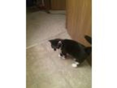 Adopt Princess Rapunzel a Black & White or Tuxedo American Shorthair / Mixed cat