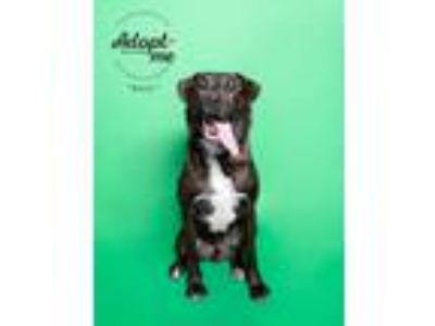 Adopt Bear a Brindle - with White Boxer / Carolina Dog / Mixed dog in