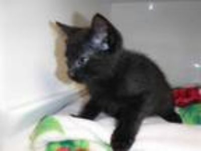 Adopt MEENIE a All Black Domestic Shorthair / Mixed (short coat) cat in Sanford