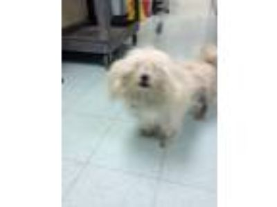 Adopt Mapito a Shih Tzu, Mixed Breed