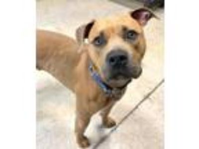 Adopt Oscar a Pit Bull Terrier, Mixed Breed