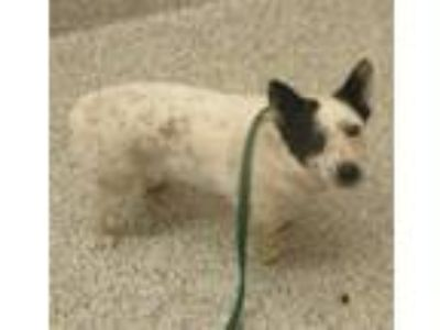 Adopt Codie a Australian Cattle Dog / Mixed dog in Golden, CO (25566949)