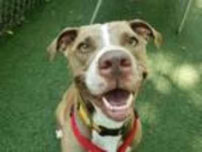 Adopt Kitty a Pit Bull Terrier, Mixed Breed