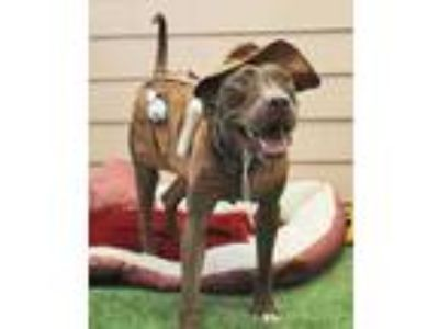 Adopt Rascal a Brown/Chocolate Mixed Breed (Large) / Mixed dog in Fernandina
