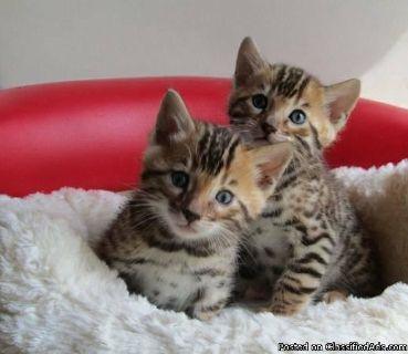 Bengal Snow Lynx Kitten ready for Christmas