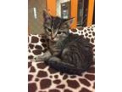 Adopt GABE a Domestic Shorthair / Mixed (short coat) cat in Wintersville
