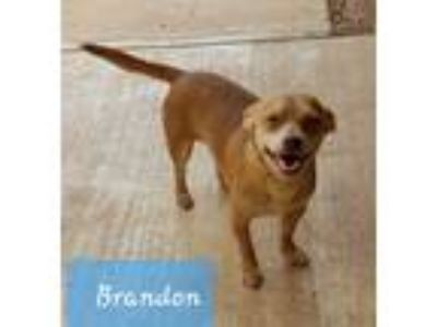 Adopt Brandon a Red/Golden/Orange/Chestnut Terrier (Unknown Type