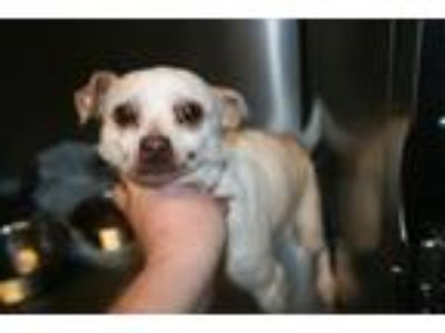 Adopt A519754 a Rat Terrier, Mixed Breed