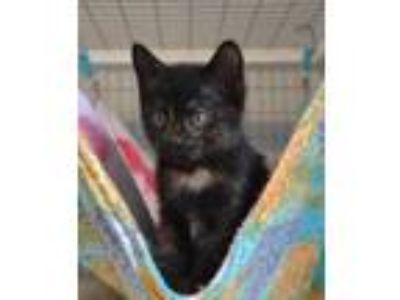 Adopt Teacup a All Black Domestic Shorthair / Domestic Shorthair / Mixed cat in
