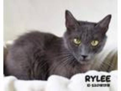 Adopt Rylee a Domestic Short Hair