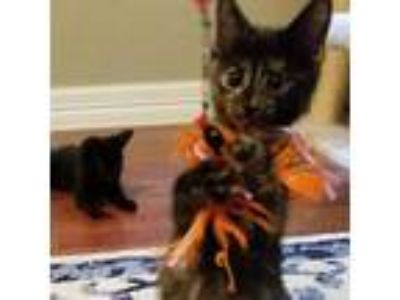Adopt Persephone a Tortoiseshell Domestic Shorthair cat in Dallas, TX (23524543)