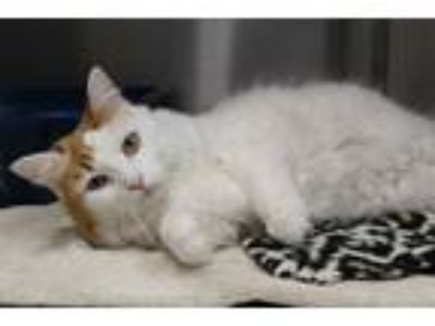 Adopt Angel a White (Mostly) Domestic Shorthair (short coat) cat in Mesquite