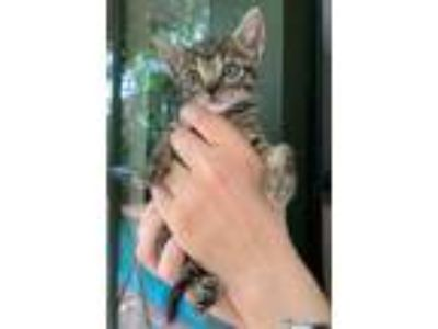 Adopt Dawn a Brown Tabby Domestic Shorthair / Mixed (short coat) cat in Fort