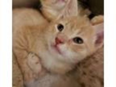 Adopt Pika a Orange or Red Domestic Shorthair / Domestic Shorthair / Mixed cat