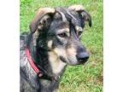 Adopt Bailey Beauty a Black - with Tan, Yellow or Fawn Shepherd (Unknown Type) /
