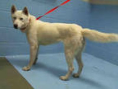 Adopt a White Husky / Mixed dog in Moreno Valley, CA (25600460)