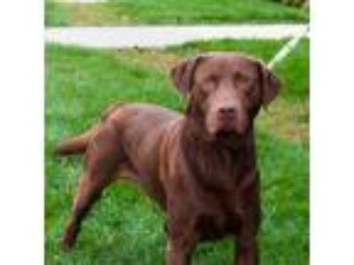 Adopt Jake a Brown/Chocolate Labrador Retriever / Mixed dog in Lansing