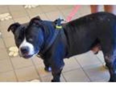 Adopt T-Bone a Black Bull Terrier / Mixed dog in Burleson, TX (25633575)