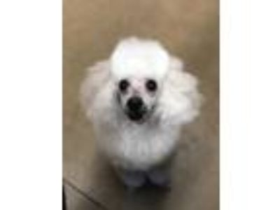 Adopt Fifi a White Poodle (Toy or Tea Cup) / Mixed dog in Wickenburg