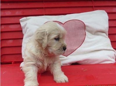 Golden Retriever PUPPY FOR SALE ADN-99234 - Awesome Golden Retriever pups for sale