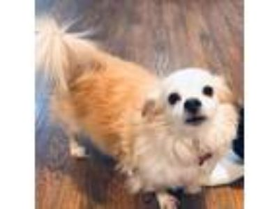 Adopt Sparky a White - with Tan, Yellow or Fawn Spaniel (Unknown Type) dog in
