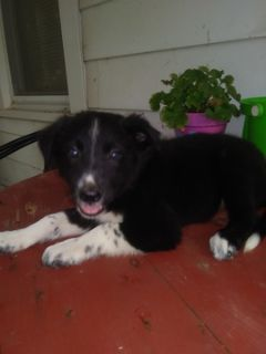 Border Collie PUPPY FOR SALE ADN-98719 - Anchor