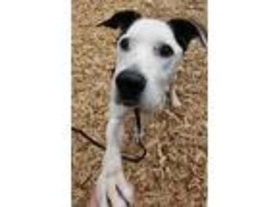 Adopt Robert a Great Dane / Hound (Unknown Type) / Mixed dog in Silverdale