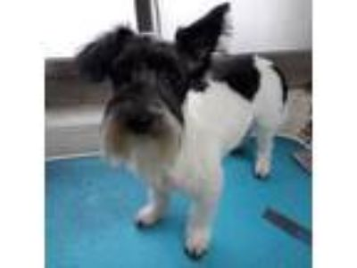 Adopt Oscar a Black - with White Terrier (Unknown Type, Small) / Mixed dog in