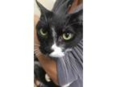 Adopt Princess a All Black Domestic Shorthair / Domestic Shorthair / Mixed