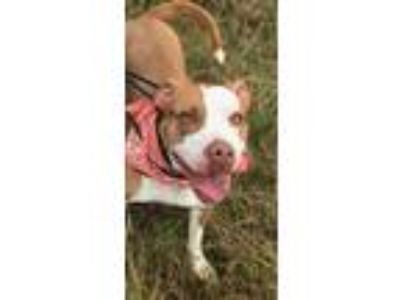 Adopt Bonnie a Brown/Chocolate - with White Pit Bull Terrier dog in Dickson
