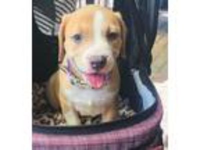 Adopt Tesla a American Staffordshire Terrier
